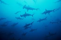 Schooling Scalloped Hammerhead Sharks, Sphyrna lewini, Dive Site Alcyone, Cocos Island, Costa Rica, Pacific Ocean