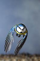 Blaumeise, im Flug, Flugbild, fliegend, mit Sonnenblumenkern im Schnabel, Blau-Meise, Meise, Meisen, Cyanistes caeruleus, Parus caeruleus, blue tit, flight, flying, La Mésange bleue