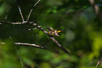 Female American redstart in a northern woodland.