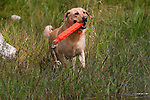 Yellow Labrador retriever (AKC) retrieving an orange dummy.