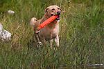 Yellow Labrador retriever (AKC) retrieving an orange dummy.