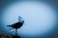 A slow shutter capture of a shorebird in silhouette along the shoreline at the San Leandro Marina.
