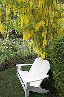 Bench and Golden Chain tree in Iris garden. Schreiner's Iris Gardens