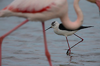 Stelzenläufer, Stelzen-Läufer, hinter einem Flamingo, Rosa-Flamingo, Himantopus himantopus, black-winged stilt, Common Stilt