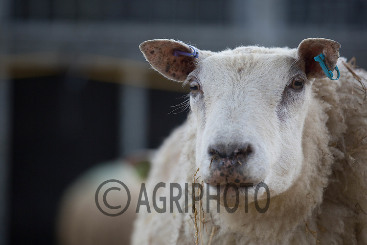 Ewes & Lambs in a straw yard<br /> ©Tim Scrivener Photographer 07850 303986<br /> ....Covering Agriculture In The UK....