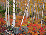 Split Rock Lighthouse SP, MN  <br /> White Birch (Betula papyrifera) forest in fall color