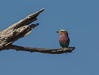 Lilac Breasted Roller in Mahango National Park, Namibia