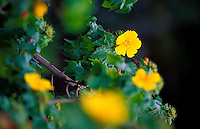 The mao-hau-hele (hibiscus brackenridgei) is the state flower of Hawaii. This small native yellow hibiscus is seldom seen and very rare in the wild. This species can be viewed at the Kula Botanical Gardens in upcountry Maui.
