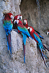 A group of red and green macaws perch together in Manu National Park, Peru.