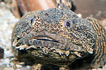 oyster toadfish close-up of face