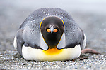 A resting king penguin (Aptenodytes patagonicus) lying on the beach. St Andrews Bay, South Georgia, South Atlantic.