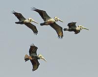 Flock of brown pelicans in breeding plumage
