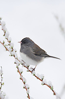 Dark-eyed Junco (Junco hyemalis), adult in snow, North Carolina, USA