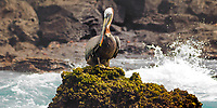 Brown pelican standing on a seaweed-covered rock, with the Pacific Ocean waves crashing on the shore in the background, Galapagos, Ecuador