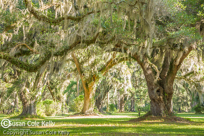 The Grove Plantation, surrounded by Live Oaks and Spanish Moss, in the ACE Basin NWR, SC