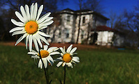 Late season daisies brighten a field at the Braun Farm in Westerville OH
