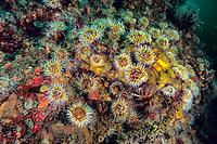 sea anemones and brittle stars on a rock, Marmara Sea, Istanbul, Turkey