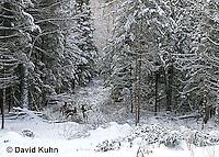 "1228-07pp  White-tailed Deer ""Small Herd in Winter"" - Odocoileus virginianus - © David Kuhn/Dwight Kuhn Photography."