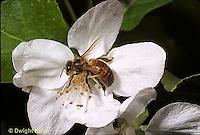1B01-045c   Honeybee pollinating apple blossom - Apis mellifera