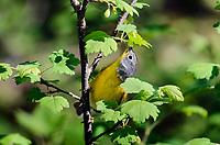 Nashville warbler (Vermivora ruficapilla) feeding on wild gooseberry blossom nectar/pollen. Great Lakes region. May.