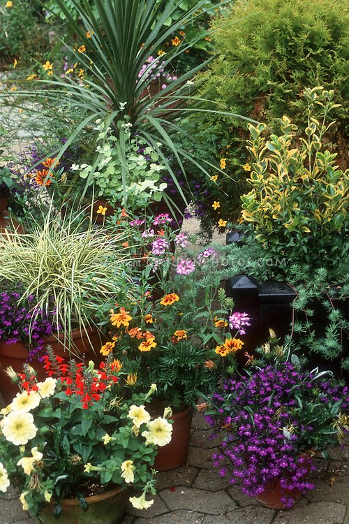 Container garden with Carex variegated ornamental grass, petunia, torenia, tagetes marigolds, Ophiopogon ornamental grass, verbena, zinnia, licorice plant helichrysum, lobelia, Phormium in pots, with euonymus, shrub evergreens, on patio