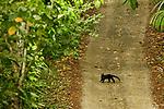 Tayra (Eira barbara) crossing dirt road in tropical rainforest, Panama Rainforest Discovery Center, Gamboa, Panama
