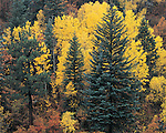 Aspen trees and Blue Spruce trees in autumn colors, Telluride, Colorado, USA. .  John offers private photo tours and workshops throughout Colorado. Year-round.