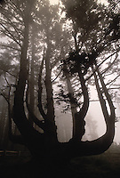 Octopus Tree, Cape Meares State Park, Oregon