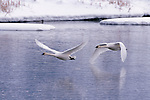 Trumpeter swans in flight over lake