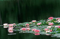 Fragrant Water Lily, Nymphaea odorata, floating in a lake,