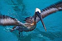 Animais. aves. Ave Pelicanos (Pelecanus occidentalis). Galápagos. Foto de Juca Martins.
