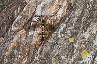 Kammschnake, Kamm-Schnake, Männchen mit kammartigen Fühlern, Ctenophora elegans, crane fly, male, crane-fly, male, Schnaken, Tipulidae, crane flies, crane-flies, daddy-long-legs