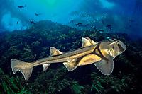 Port Jackson shark, Heterodontus portusjacksoni, South Australia
