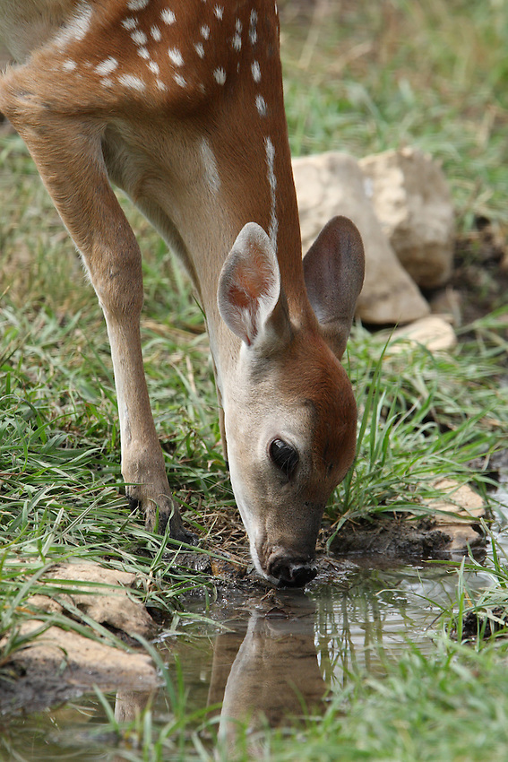 White-tailed Deer fawn (Odocoileus virginianus) drinking with reflection.