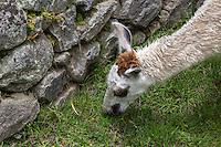 Peru, Machu Picchu.  Llama Grazing.
