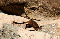 Brush-tailed Rock Wallaby hopping over the rock cliffs of the Grampians, Victoria