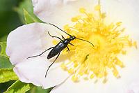 Schwarzer Schmalbock, Schmal-Bock, Stenurella nigra, Strangalia nigra, Leptura nigra, Small black longhorn beetle, Blütenbesuch auf Wildrose, Rose, Rosa