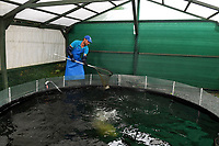 BNPS.co.uk (01202) 558833<br /> Pic: BNPS<br /> <br /> Pictured: Antonio Palladino farms organically-fed rainbow trout and uses their waste to grow about 50 different fruits and vegetables<br /> Something fishy or food for thought?<br /> <br /> A chef turned farmer is leading the way in sustainable farming by using fish poo as fertiliser.<br /> <br /> Antonio Palladino farms organically-fed rainbow trout and uses their waste to grow about 50 different fruits and vegetables without the need for soil.<br /> <br /> He says using fish waste as fertiliser is the most sustainable farming method and produces a bigger and much tastier crop.