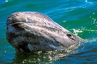 gray whale calf, Eschrichtius robustus, San Ignacio Lagoon, Mexico, Pacific Ocean