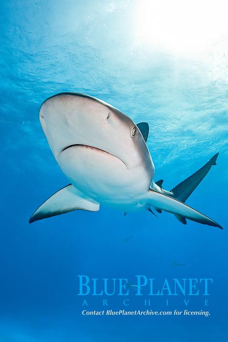 Caribbean reef shark, Carcharhinus pereziii, Bahamas, Caribbean Sea, Atlantic Ocean