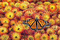 MONARCH BUTTERFLY (Danaus plexippus)..Feeding on Fall Garden Mums (Dendranthema x grandiflora)..North America.