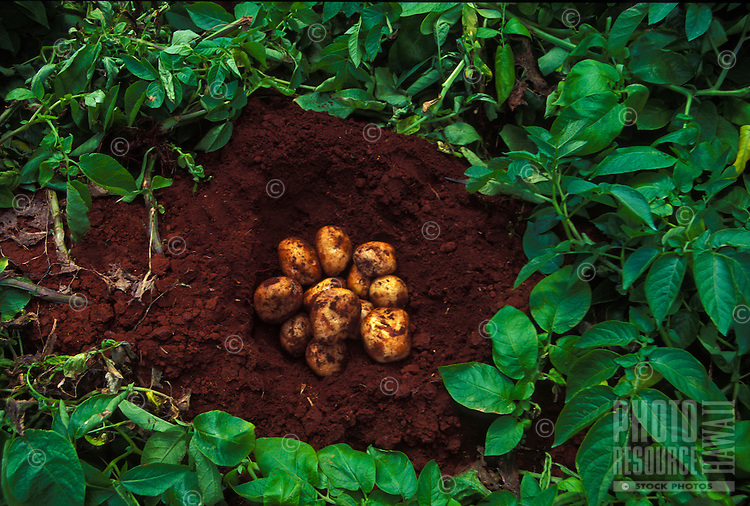 Local grown potatoes on Island of Molokai