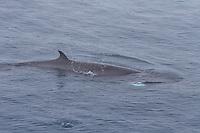 Surfacing Minke whale Balaenoptera acutorostrata DNA Sample dart striking body causing spash Norwegian sea North Atlantic