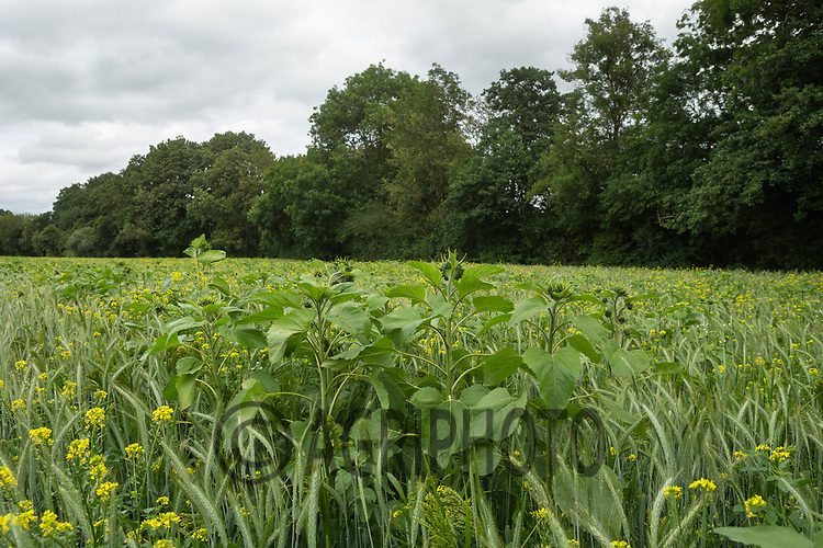 12-8-2021 Cover crop in Oxfordshire <br /> ©Tim Scrivener Photographer 07850 303986<br />      ....Covering Agriculture In The UK....