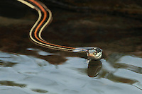 The Red-striped Ribbon snake is a sub-species found only in Central Texas.