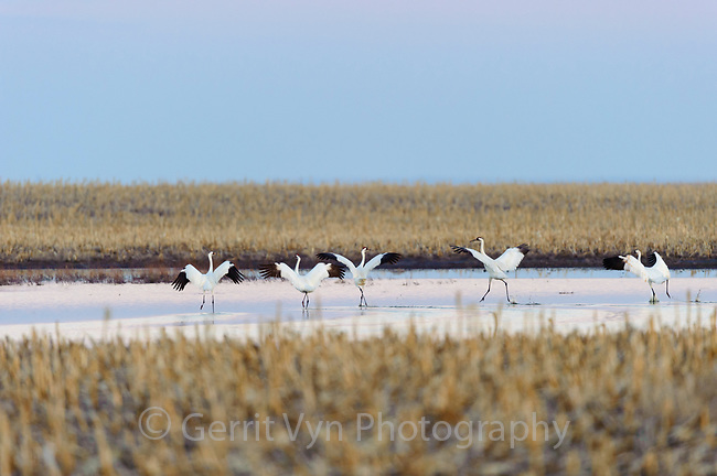 """Whooping Cranes (Grus americana) """"run flapping"""" during spring migration. Central South Dakota. April."""