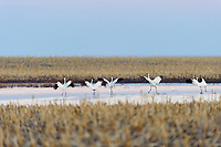 "Whooping Cranes (Grus americana) ""run flapping"" during spring migration. Central South Dakota. April."