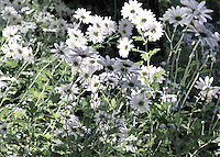 Stock photo: Gorgeous white gerbera daisy flowers blooming in plenty.