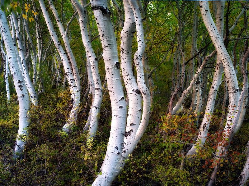 Close up of aspen trunks. Eastern Sierra Nevada Mountains, California