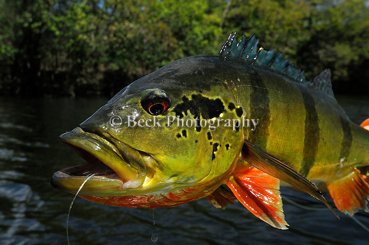 A colorful peacock bass with a fly in it's mouth.